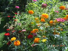 Mixed Marigolds and Zinnias - I left the grass on the slope .. thinking that the birds will benefit from it .. and now ... am thinking ... it isn't. So .. will be spending some time clearing it and will be growing more shrubs on this slope for next year.