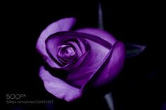 Rose by Camello2000. @go4fotos