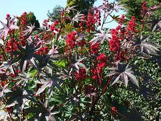 Le Ricin commun (Ricinus communis) est un arbuste très apprécié pour ajouter une touche de couleur à un jardin grâce à ses tons allant du rose au pourpre, et ses feuilles rappelant celles d'un palmier. Utilisée pour extraire la célèbre huile de ricin, cette plante produit des graines qui renferment un cocktail toxique potentiellement explosif. Le ricin peut tuer en déréglant le métabolisme des cellules, en bloquant la création de protéines indispensables à notre survie. Cette plante peut…