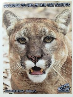 "Big Cat Rescue Photo Post Card Reise the Cougar ""So Much to See at Big Cat Rescue""."