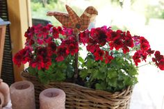 geranium in mand   Atelier Bep