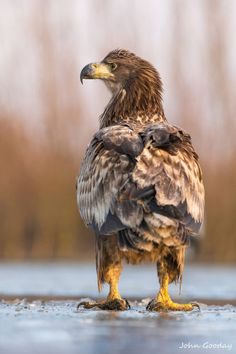 Birds of Prey - A juvenile White-tailed Eagle contemplates the situation on a frozen lake. - by photographer John Gooday Beautiful Creatures, Animals Beautiful, White Tailed Eagle, Funny Birds, Beautiful Bugs, Kinds Of Birds, Big Bird, Exotic Birds, Birds Of Prey