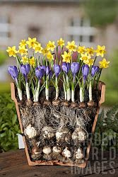 Forcing Spring Bulbs in Pots