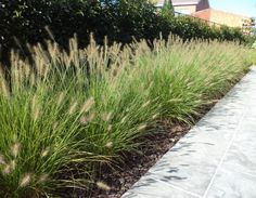 Dwarf Hameln fountain grass – Growing Lavender Gardening - Growing Plants at Home Miscanthus Sinensis Gracillimus, Grass For Sale, Fountain Grass, Vegetable Garden Design, Garden Types, Ornamental Grasses, Garden Inspiration, Garden Landscaping, Landscaping Ideas