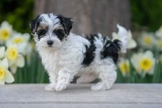 Teacup Maltipoo For Sale, Maltipoo Puppies For Sale, Maltipoo Dog, Cute Baby Puppies, Teacup Maltese, Maltese Puppies, Small Puppies For Sale, Bichon Poodle Mix, Miniature Puppies