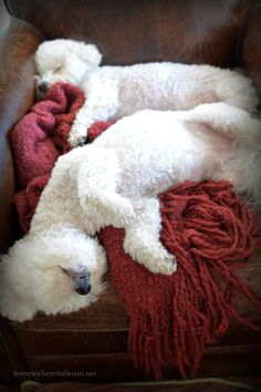 Chloe & Gracie sleeping in chair | homeiswheretheboatis.net  #BichonFrise  This is what I call relaxed.