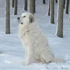 Pyrenees Puppies, Great Pyrenees Dog, Dogs And Puppies, Giant Dogs, Big Dogs, Animals And Pets, Cute Animals, Hachiko, Best Dog Breeds