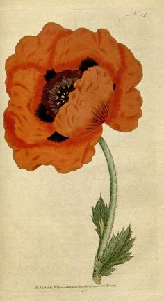 Eastern Poppy, from The Botanical Magazine, or, Flower-Garden Displayed. by William Curtis.