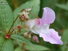 Image result for Himalayan Balsam