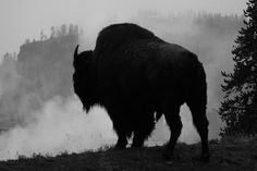 Buffalo in thought.....
