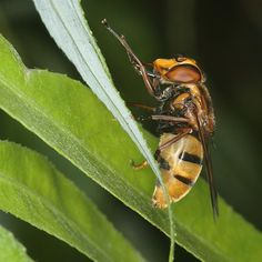 Volucella inanis hoverfly resting on willow leaf.