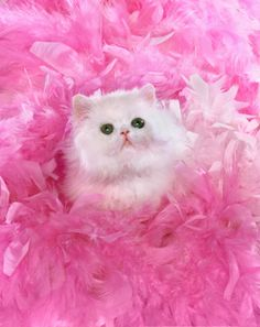 79 Best Cats In Pink Images Cats Cats And Kittens Crazy Cats