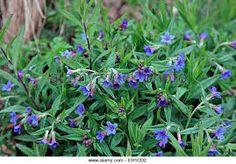 "erdei gyöngyköles/ buglossoides purpureo-coeruleum"""