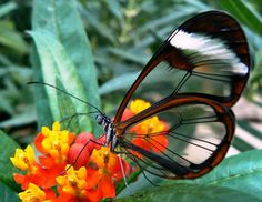 Lacking the colored scales found in other butterflies, the glasswing butterfly's wings are as tiny as they are transparent. With a wingspan of only around 2.1 inches, this ethereal beauty is easily overlooked