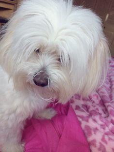 :) #doglovers #cotondetulear #cute dog #dogsandpuppies