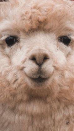 60 Funny Furry Animals To Brighten Your Day - Lama / Alpaka - Animals Wild Alpacas, Cute Little Animals, Cute Funny Animals, Cute Cats, Lama Animal, Cute Alpaca, Baby Alpaca, Alpaca Funny, Funny Llama