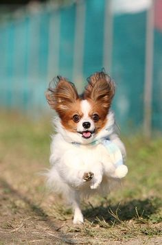 dog pics of papillons with funny captions | dogs papillon goggie ob teh week frolicking scarf