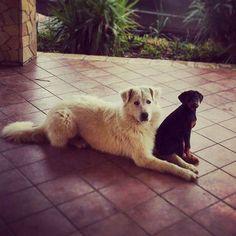 I miei tesori  #dogs #dog #puppy #puppies #doberman #dobermann #maremmano #pastoremaremmano #animals #animali #animallovers #animalpics #cuteanimals #cutedogs #dogslovers #instadogs #instadog #instacani #love #lovely #amour #amore #love #patati #cuccioli #patatini #patatosi #sicily #italy #siciliabedda #sicilia  by serena.gattuso  http://bit.ly/teacupdogshq