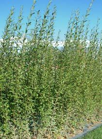 Black Maul Willow is great for goat and rabbit fodder, to coppice for biomass wood for wood stove, basketweaving, etc.... sounds like it might be a good hedge plant.