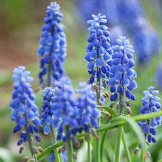 These beautiful flowers look good enough to eat, except this Grape Hyacinth won't be eaten by those pesky deer or rabbits. More bulb ideas: http://www.bhg.com/gardening/flowers/bulbs/beautiful-bulbs-deer-and-rabbits-dont-eat/?socsrc=bhgpin100513grapehyacinth&page=6