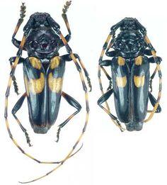 Andraegoides variegatus