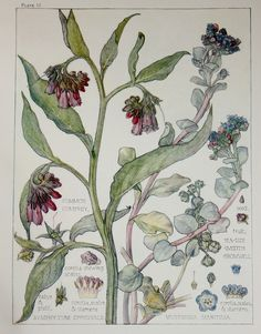 The Borage Family. Arts and Crafts-style botanical illustrations by H. Isabel Adams taken from 'Wild Flowers of the British Isles. Botanical Flowers, Botanical Prints, Flower Prints, Flower Art, Plant Illustration, Botanical Drawings, Realistic Drawings, Floral Illustrations, Fauna