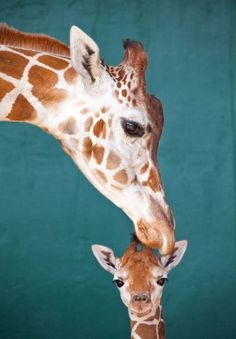Giraffe Kisses / via Zooborns Mundo Animal, My Animal, Beautiful Creatures, Animals Beautiful, Animal Pictures, Cute Pictures, Tier Fotos, All Gods Creatures, Cute Baby Animals