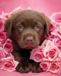 Chocolate Lab puppy surrounded by Pink Roses. <3