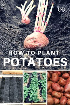 Want to know the best way to plant potatoes? This method leads to a secret that can help you double (at least!) the number of tubers your potato plants produce.