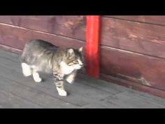 Look At This Cat Walk... She Thinks She's A Show Horse - YouTube The cat lives in a show horse barn~~~