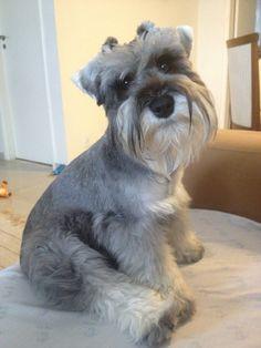 Schnauzer :) looks just like Mercedes! Schnauzer Puppy, Miniature Schnauzer, Animals And Pets, Cute Animals, Most Beautiful Dogs, Puppy Love, I Love Dogs, Dog Life, Best Dogs