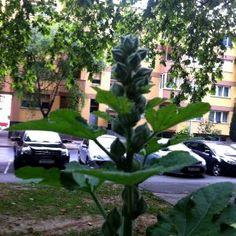 Pupoljci vrtnog sljeza u mom vrtu (13)