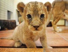 Baby simba! <3