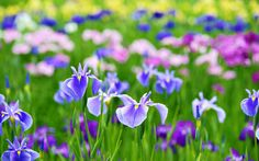 Find high quality beautiful flowers wallpapers and backgrounds on Desktop Nexus. Flores Wallpaper, Spring Flowers Wallpaper, Field Wallpaper, Free Wallpaper Backgrounds, 4 Wallpaper, Beautiful Flowers Wallpapers, Wallpaper Pictures, Desktop Wallpapers, Iris Flowers