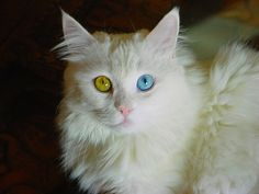 """<b>These cats have eyes that are each a different color, a condition commonly referred to as """"odd-eyed,"""" or, scientifically, """"Heterochromia Iridum.""""</b> These special kitties may be odd, but they"""