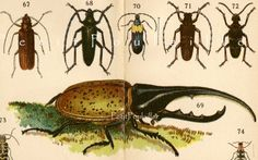 Antique 1907 Edwardian Natural History Engraved Chromolithograph, Beetles and Insects, Pl 6