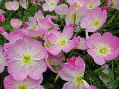 Buttercup or evening primrose