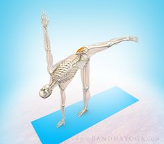 Figure 3: The gluteus medius stabilizing the lifted leg in Half Moon Pose.  Work it!