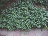 Periwinkle for slopes Ground Cover Plants, Back Patio, Periwinkle, Planting Flowers, Modern, Gardening, Ideas, Trendy Tree, Lawn And Garden