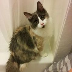 Meet Magella, a Petfinder adoptable Calico Cat | Verdun, QC | 3282 - Magella(Female, born October 8, 2014)Magella is a calico who was born on the streets to a...