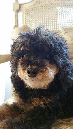 Phantom miniature poodle