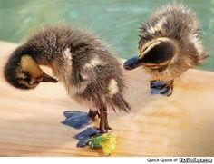 You see my Quack – Quack?