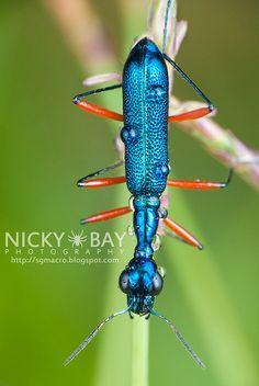 Tiger Beetle (Cicindelinae) <3