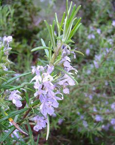 Rosmarinus Officinalis (Rosemary) How to use herbs in the bath. Herbs For Sleep, Pic Vert, Vanilla Essential Oil, Essential Oils, Thing 1, Medicinal Herbs, Healing Herbs, Homestead Survival, Herb Garden