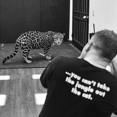 "Black Jaguar-White Tiger on Instagram: ""Great things happening in the following months. This is @gavinbondphotography working his magic... Grandes cosas vienen para la Fundación. @gavinbondphotography haciendo magia... #Matzu #SaveJaguars #BlackJaguarWhiteTiger"""
