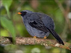 The Black-faced Solitaire, (Myadestes melanops) is a bird in the thrush family endemic to highlands in Costa Rica and western Panama.