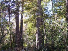 Deep in the Bald Cypress swamp. www.garygreenfield.com