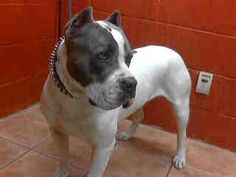 Animal ID: A4682397 My name is Armen and I'm an approximately 2 year old male #pitbull.  I am not yet neutered.  I have been at the Downey Animal Care Center since March 6, 2014.  I will be available on March 22, 2014.  You can visit me at my temporary home at D122.
