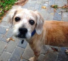 Lex The Wonder Dog is an adoptable Cocker Spaniel Dog in Norfolk, VA. Hi I am Lex, a smart laid back guy. I enjoy sitting at your feet, getting up when you do to see what is going on...going for long ...