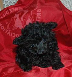 Teacup black Poodle Female